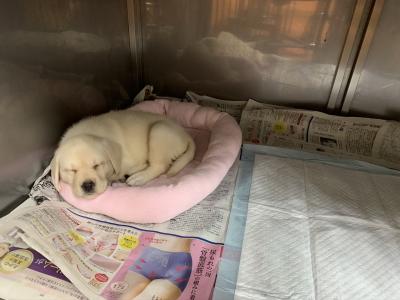 ラブラドールレトリバーイエロー(クリーム色)の子犬メス、トイレのしつけが出来ている画像