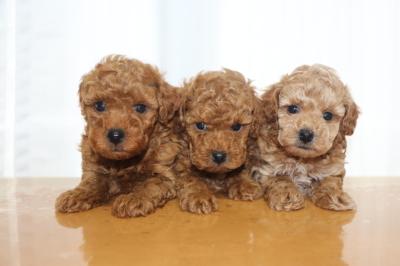 トイプードルの子犬レッドオス2頭アプリコットメス1頭、生後6週間画像