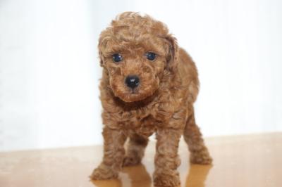 トイプードルの子犬レッドオス、生後6週間画像