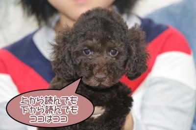 トイプードルブラウンの子犬メス、東京都新宿区ココちゃん画像