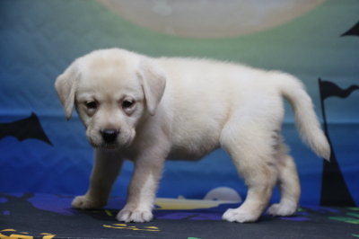 ラブラドールレトリバーイエロー(クリーム色)の子犬メス、埼玉県川口市アニーちゃん画像