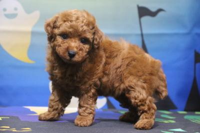 トイプードルの子犬レッドオス、生後7週間画像