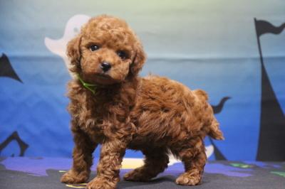 タイニープードルの子犬レッドオス、生後7週間画像