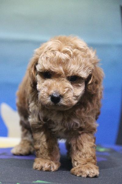 タイニープードルアプリコットの子犬メス、生後7週間画像