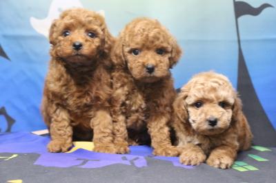 トイプードルの子犬レッドオス2頭アプリコットメス1頭、生後7週間画像