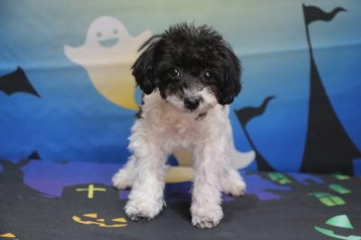 トイプードル白黒パーティーカラーの子犬メス、生後4ヵ月半画像