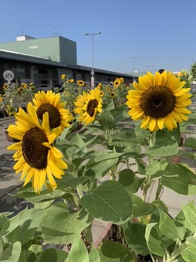 羽田空港貨物ターミナルで咲くひまわり画像