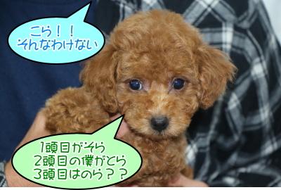 タイニープードルレッドの子犬オス、千葉県船橋市トラ君画像