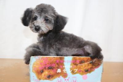 ティーカッププードルシルバーの子犬メス、生後4ヵ月画像