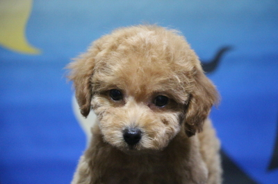 タイニープードルアプリコットの子犬メス、生後2ヵ月画像