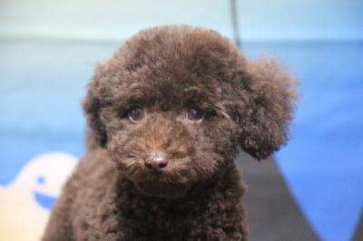タイニープードルブラウンの子犬オス、神奈川県横浜市チャド君画像