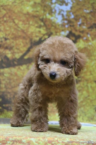タイニープードルアプリコットの子犬メス、東京都町田市アンちゃん画像