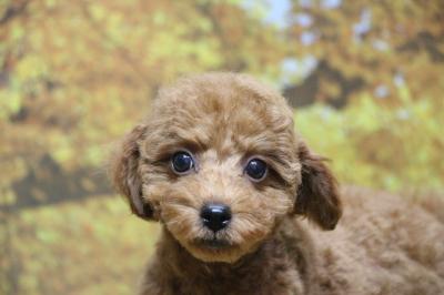 トイプードルレッドの子犬オス、神奈川県横浜市トア君画像