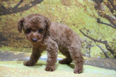 トイプードルレッドの子犬メス、東京都台東区ネナナちゃん画像