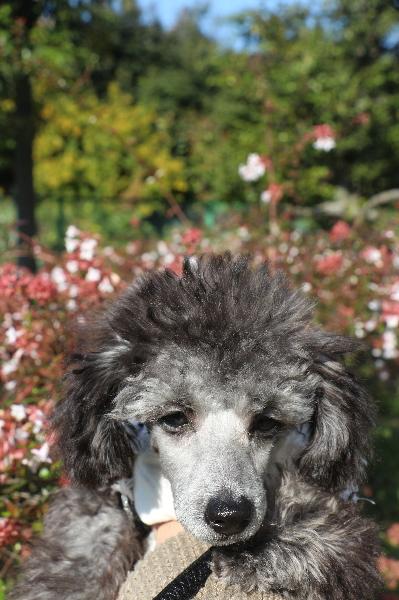 トイプードルシルバーの子犬オス、千葉県鎌ヶ谷市タフィー君画像
