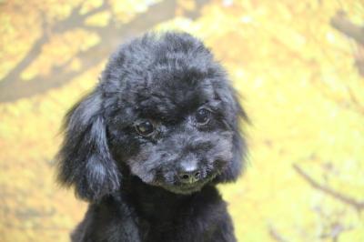 ティーカッププードルブラック(黒色)の子犬メス、埼玉県さいたま市サラちゃん画像