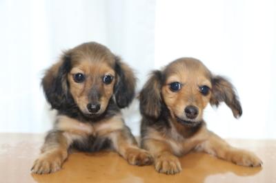 カニンヘンダックスマホガニーレッドの子犬メス2頭、生後3ヵ月画像