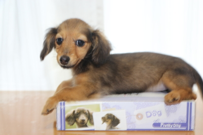 カニンヘンダックスマホガニーレッドの子犬メス、生後3ヵ月画像
