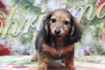カニンヘンダックスマホガニーレッドの子犬メス、生後4ヵ月画像