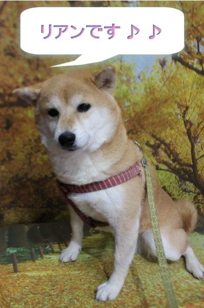 千葉県鎌ケ谷市の柴犬シャンプー前画像