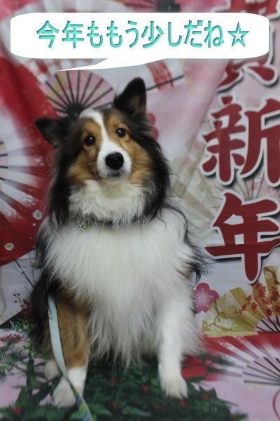 千葉県鎌ケ谷市のシェルティーのトリミング前画像
