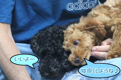 トイプードルブラック(黒色)オスとレッドメスの多頭飼い画像