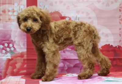 トイプードルレッドの子犬メス、東京都大田区オリーブちゃん画像