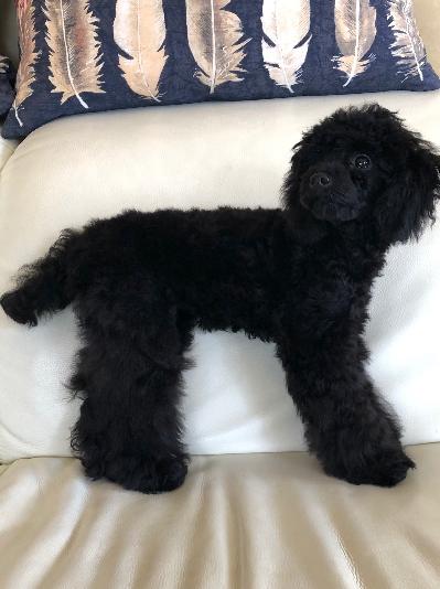 タイニープードルブラック(黒色)の子犬メス、神奈川県横浜市アビーちゃん画像