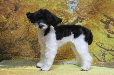 タイニープードル白黒パーティーカラーの子犬メス、東京都八王子市おにぎりちゃん画像