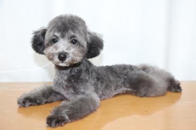 ティーカッププードルシルバーの子犬メス、生後5ヵ月画像
