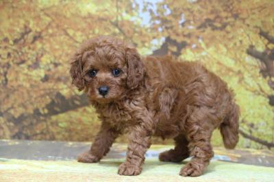 トイプードルレッドの子犬メス、生後6週間画像