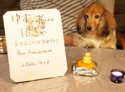 ミニチュアダックスレッドメス、東京都文京区ゆずちゃん画像