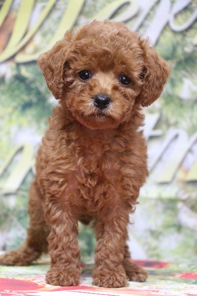 トイプードルレッドの子犬メス、生後7週間画像