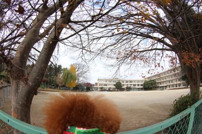 ペットホテル、千葉県鎌ヶ谷市トイプードルアーチ君画像
