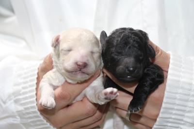 トイプードルの子犬、ホワイト(白色)オス・シルバーメス、生後1週間画像