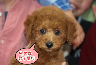 トイプードルレッドの子犬メス、神奈川県横浜市ひなちゃん画像