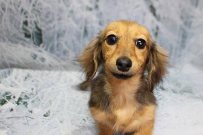 カニンヘンダックスマホガニーレッドの子犬、トリミング画像
