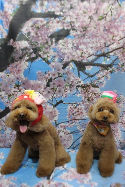千葉県鎌ケ谷市のトイプードルのトリミング画像