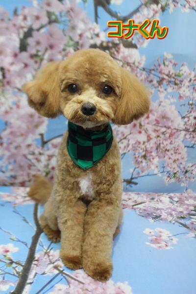 千葉県船橋市のミックス犬のトリミング画像