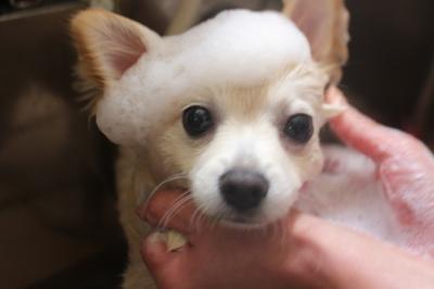 千葉県船橋市のミックス犬の歯磨き像