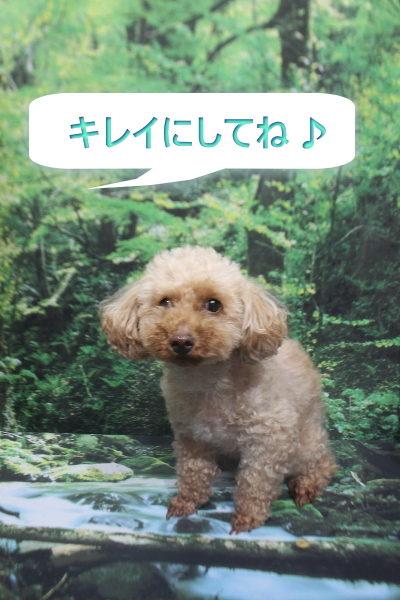 千葉県鎌ケ谷市のトイプードルのトリミング前画像