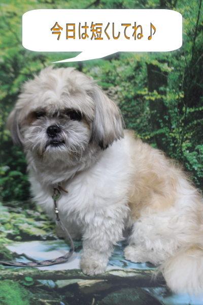 千葉県鎌ケ谷市のミックス犬のトリミング前画像