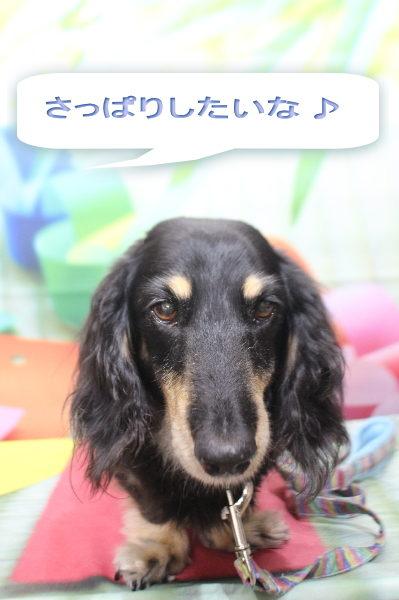 千葉県鎌ヶ谷市のミニチュアダックスのトリミング前画像
