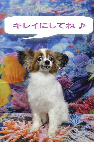 千葉県船橋市のパピヨントリミング前画像