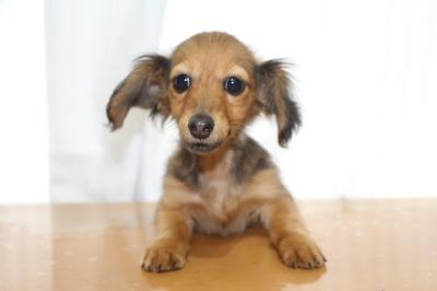 カニンヘンダックスマホガニーレッドの子犬メス、生後3ヵ月半画像
