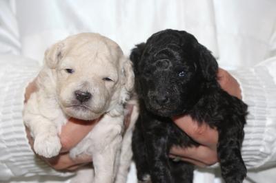 トイプードルの子犬、ホワイト(白色)オス・シルバーメス、生後2週間画像