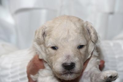 トイプードルの子犬、ホワイト(白色)オス、生後2週間画像