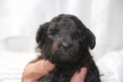 トイプードルの子犬、シルバーメス、生後2週間画像