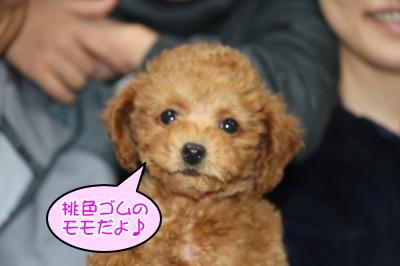トイプードルレッドの子犬メス(ピンク)、東京都中央区モモちゃん画像