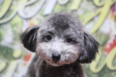 ティーカッププードルシルバーの子犬メス、生後半年画像